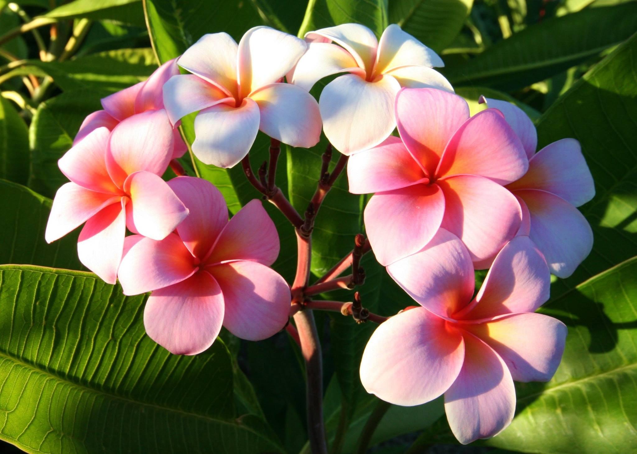 Nuovi arrivi di piante plumerie